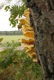 Champignon en bois jaune sur un tronc d'arbres Image libre de droits