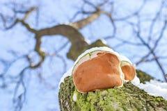 Champignon en gros plan de parasit sur la barre du chêne Vue inférieure Ciel bleu sur un fond photographie stock libre de droits