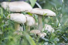Champignon en photo modifiée la tonalité rêveuse d'herbe verte Scène de forêt d'été Photos stock