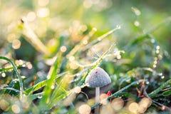 Champignon et herbe verte avec la baisse de rosée photo stock