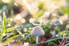 Champignon et herbe verte avec la baisse de rosée photo libre de droits