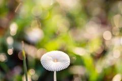 Champignon et herbe verte avec la baisse de rosée photos stock