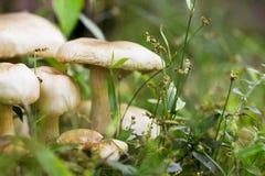 Champignon grandissant en photo de macro d'herbe verte Scène de forêt d'été Photographie stock