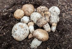 Champignon growing in the forest. Forest mushroom Stock Photos