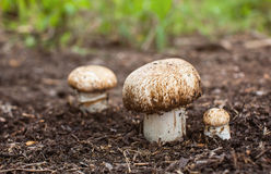 Champignon growing in the forest. Stock Image