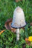 Champignon hirsute d'inkcap dans l'herbe Image stock