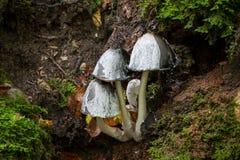 Champignon hirsute de chapeau d'encre (Coprinus sensu lato) Photographie stock