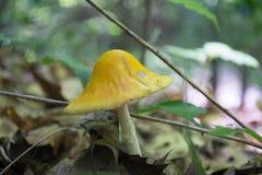 Champignon jaune américain d'agaric de mouche photographie stock