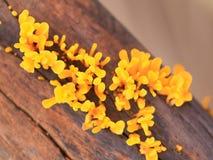 Champignon jaune lumineux vif de plan rapproché sur le foyer mou en bois o de délabrement photographie stock libre de droits