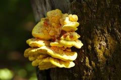 Champignon jaune s'élevant sur un arbre Image libre de droits
