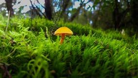 Champignon jaune sur l'herbe Image libre de droits