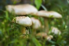 Champignon lumineux en photo de macro d'herbe verte Scène de forêt d'été Images stock