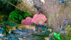 Champignon médicinal - le champignon de lingzhi ou champignon de reishi Images libres de droits