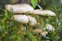Champignon mûr en photo de macro d'herbe verte Scène de forêt d'été Photos stock
