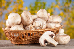 Champignon mushrooms in a wicker basket on wooden table with blurry garden background.  Royalty Free Stock Image