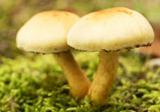 Champignon non comestible, macro, touffe de soufre (fasciculare de Hypholoma) Photos stock