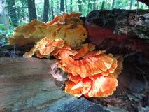 Champignon orange comestible sauvage images libres de droits