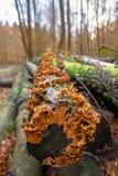 Champignon orange sur un arbre mort Images libres de droits