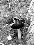Champignon peu commun Image libre de droits