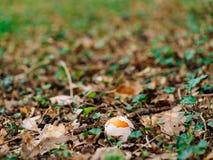 Champignon rare dans les bois dans l'herbe Amanite Césarée, Kesar Photo stock