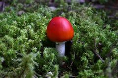 Champignon rouge Photo stock