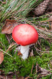 Champignon rouge photo libre de droits