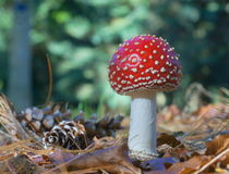 Champignon rouge Image stock