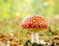Champignon rouge Photographie stock libre de droits