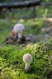 Champignon rouge d'automne s'élevant dans une forêt européenne verte Image stock
