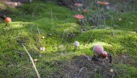 Champignon rouge d'automne s'élevant dans une forêt européenne verte Image libre de droits