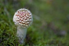 Champignon rouge d'automne s'élevant dans une forêt européenne verte Photo stock