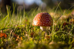 Champignon rouge dans la lumière d'automne Photo stock
