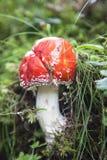 Champignon rouge toxique Images libres de droits