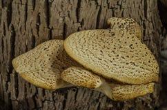 Champignon s'élevant sur un squamosus de Cerioporus de tronc d'arbre images stock