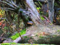Champignon s'élevant sur un vieil arbre mort Image stock