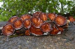 Champignon sauvage Photographie stock libre de droits