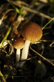 Champignon sauvage Images stock