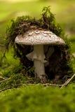 Champignon sauvage d'amanite dans une forêt Photos libres de droits