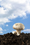 Champignon on Sky Stock Photos