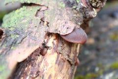 champignon sur l'arbre Champignon d'huître comestible de champignon Champignon s'élevant sur un arbre abattu Champignon de couche Image stock