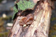 champignon sur l'arbre Champignon d'huître comestible de champignon Champignon s'élevant sur un arbre abattu Champignon de couche Photos libres de droits