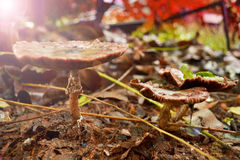 Champignon sur l'herbe verte. Photo stock