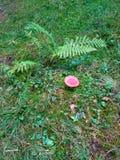 Champignon sur l'herbe verte Photos stock
