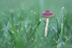 Champignon sur la pelouse Photo libre de droits