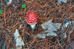 Champignon toxique Photo stock
