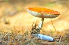 Champignon (toxique) Photo stock