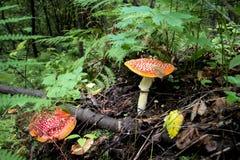 Champignon toxique s'élevant dans la forêt Photographie stock