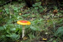 Champignon toxique s'élevant dans la forêt Photo libre de droits