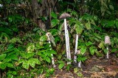 Champignon toxique s'élevant en poison pur de forêt, foyer mou image stock