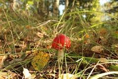 Champignons, agaric de mouche photo stock